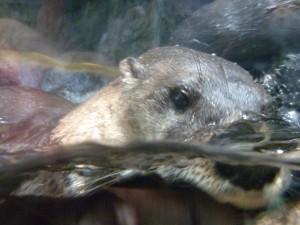 Otter Playing at Florida Aquarium