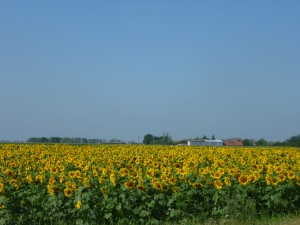 Hungary's Sunflowers