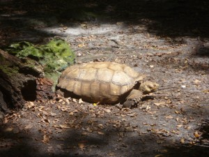 Tortoise at Silver Springs, Florida