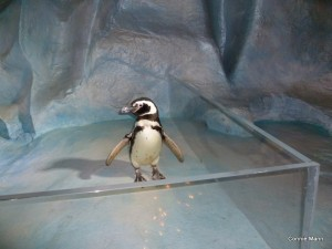 Penguin at Sea World_Connie Mann