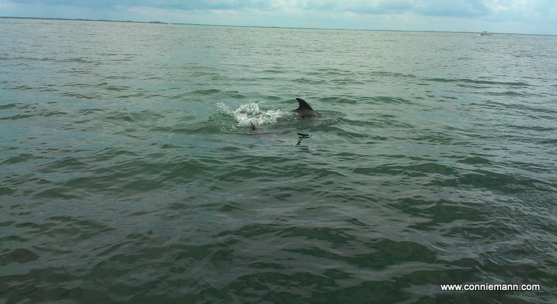 Dolphins playing by the boat